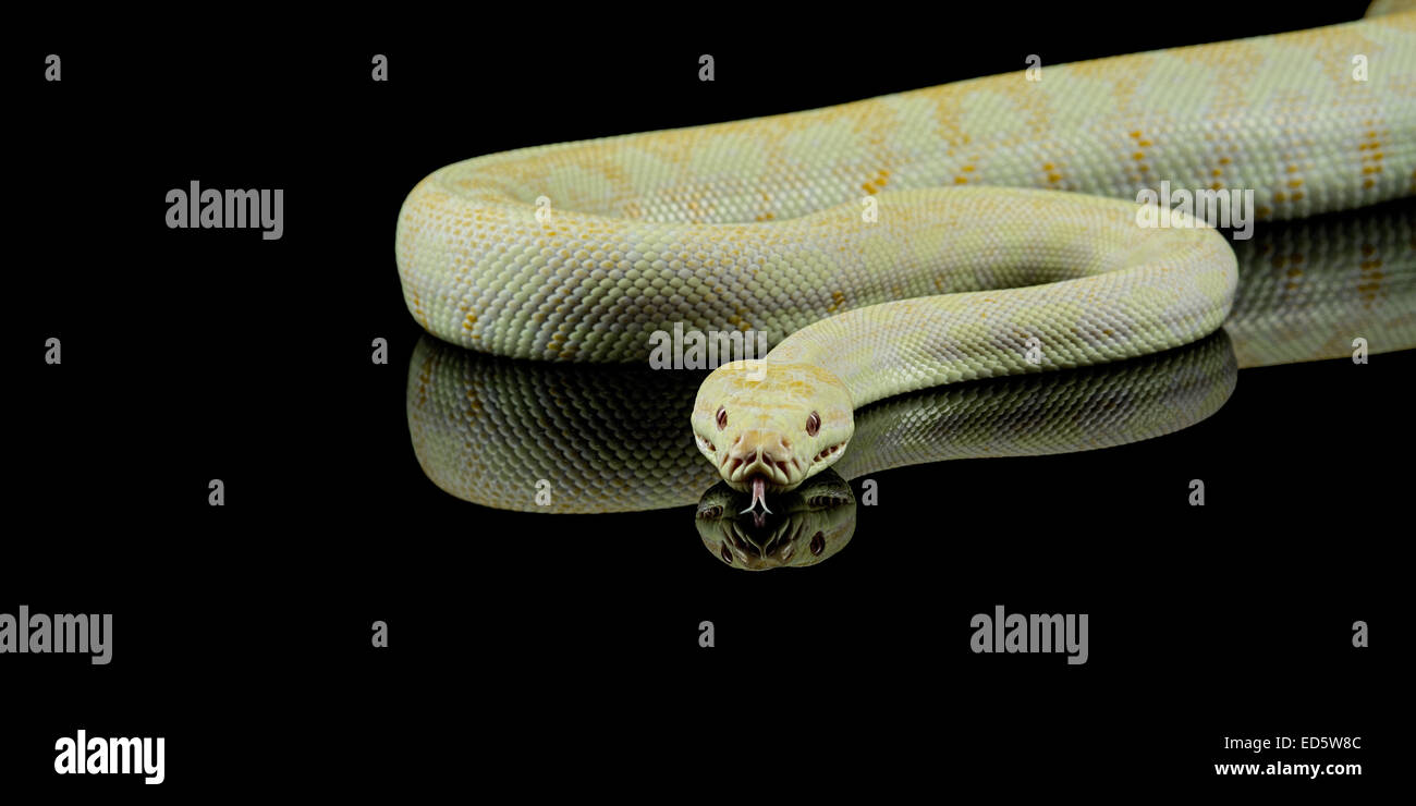 native australian snakes Stock Photo
