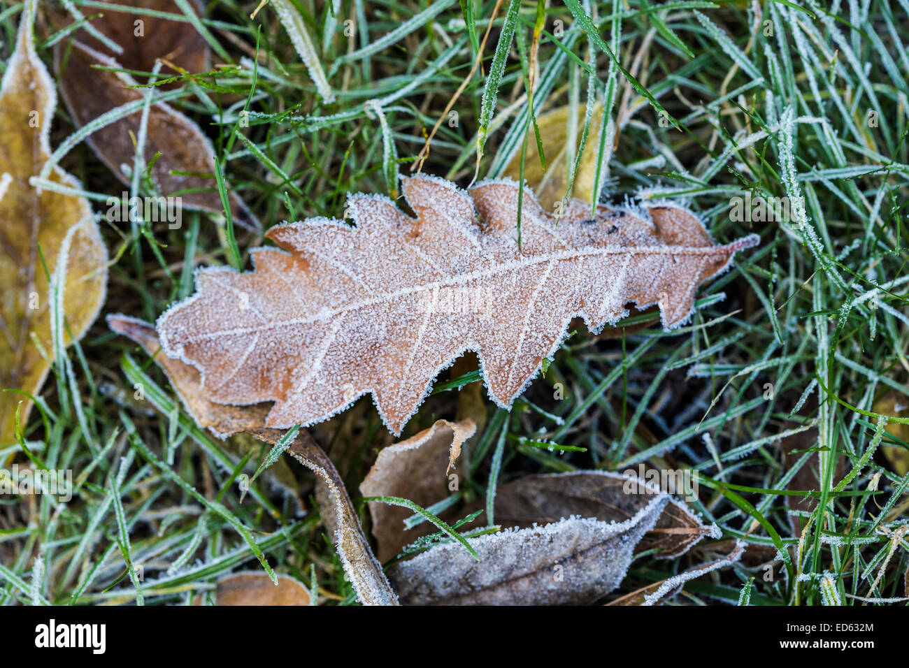 Leaves covered in Frost ice crystals - Stock Image