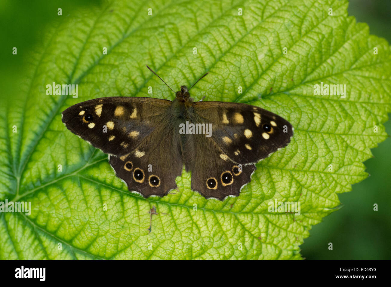 A Speckled Wood Butterfly (Pararge aegeria) on a bramble leaf in East Yorkshire, England - Stock Image