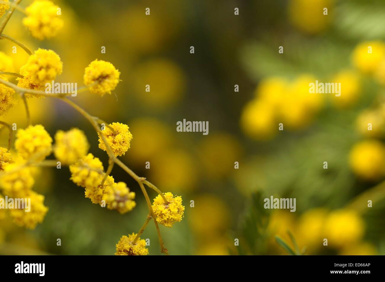 Yellow Mimosa Flower Stock Photos Yellow Mimosa Flower Stock