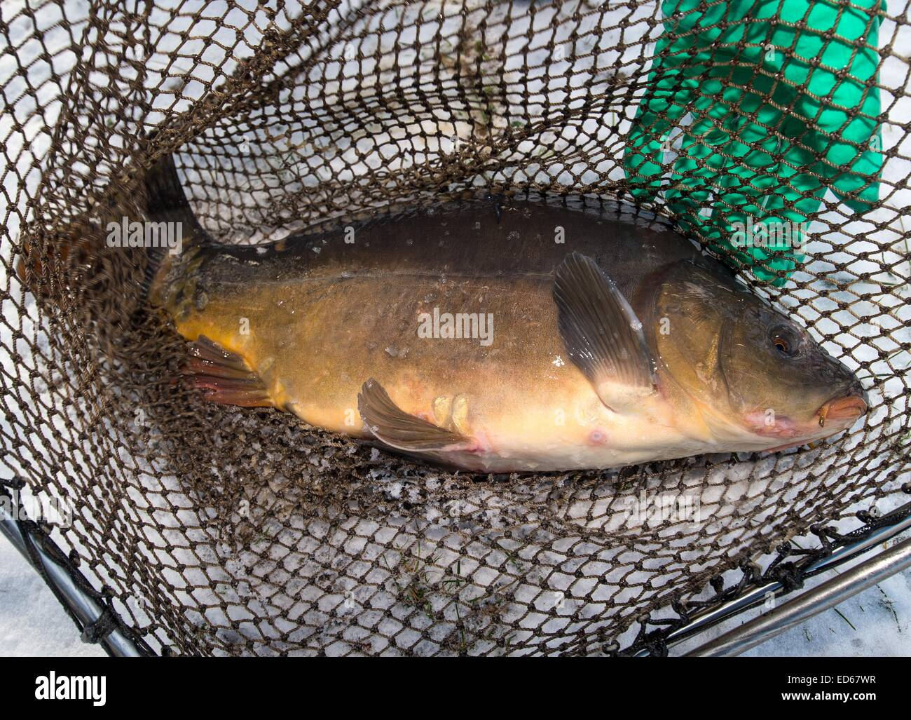 A carp is caught in a net in Boossen near Frankfurt/Oder, Germany, 29 December 2014. The fisher's storage reservoires - Stock Image