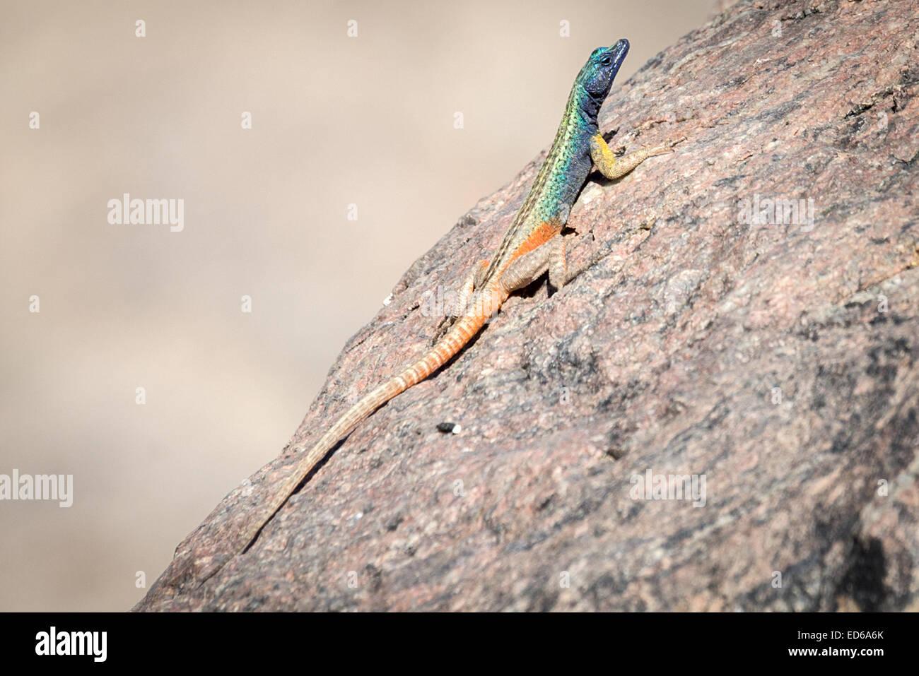 Augrabies Flat Lizard aka Agama (Platysaurus broadleyi) Augrabies National Park Namaqualand Northern Cape South Stock Photo
