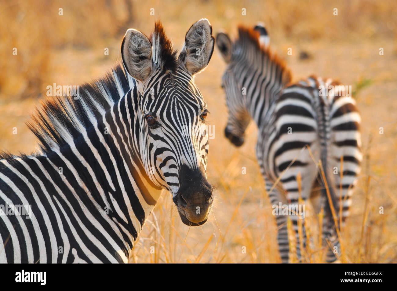 Zebras in Zambia, South Luangwa Park - Stock Image