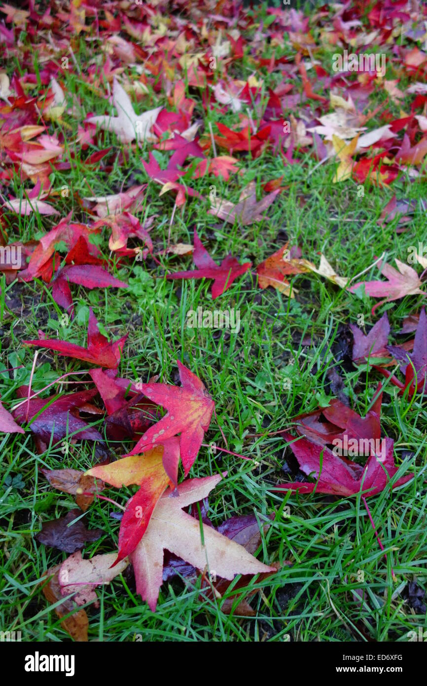 Carpet of Sweet Gum Leaves - Stock Image