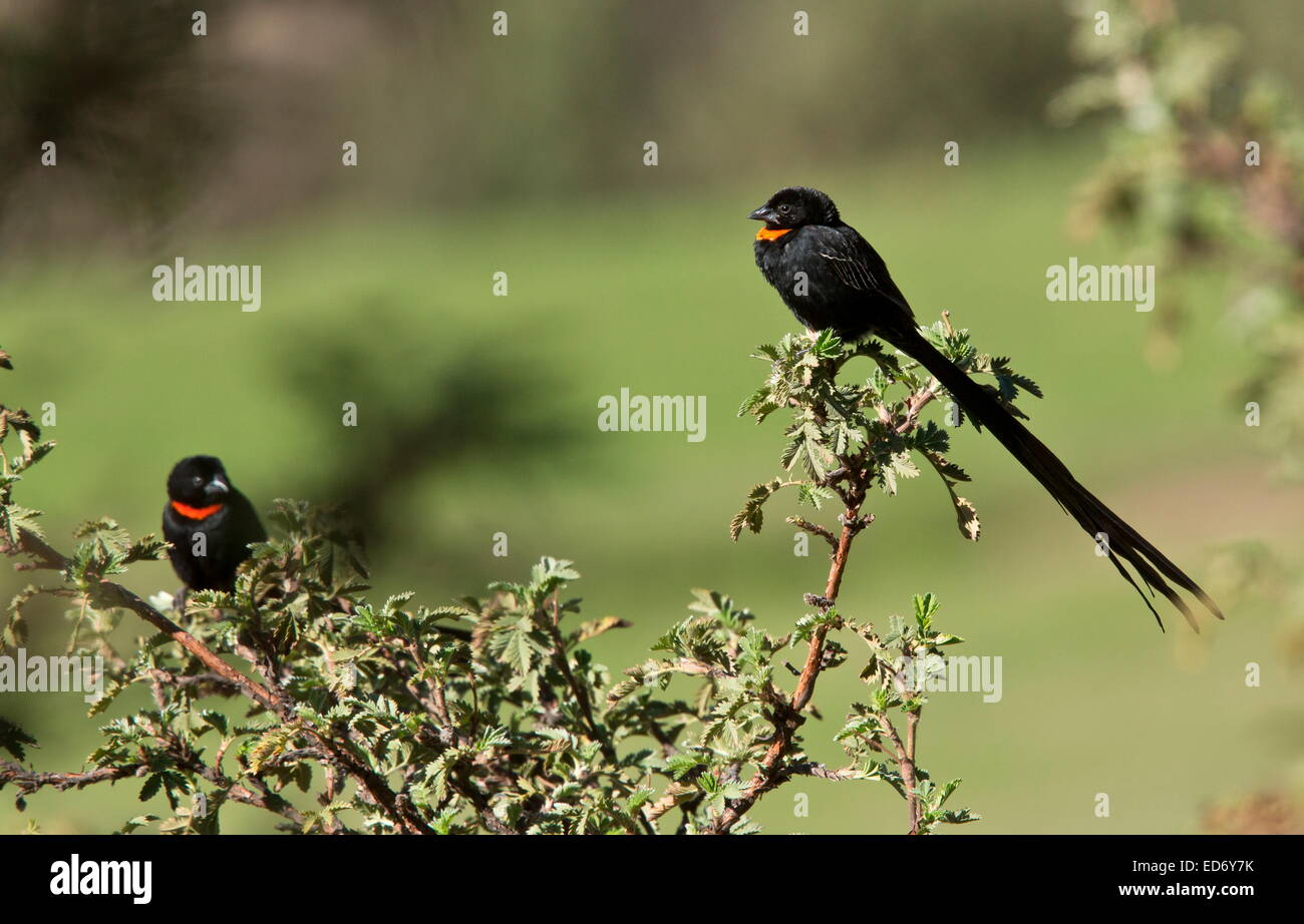 Male Red-collared Widowbird, Euplectes ardens in the Golden Gate Highlands National Park, Drakensberg Mountains, - Stock Image