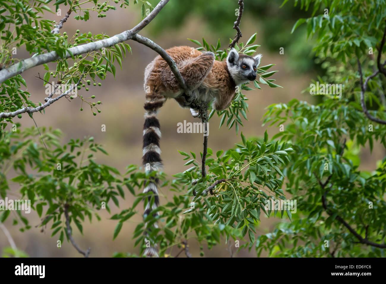 Ring-tailed Lemur (Lemur catta), on a tree, Madagascar - Stock Image