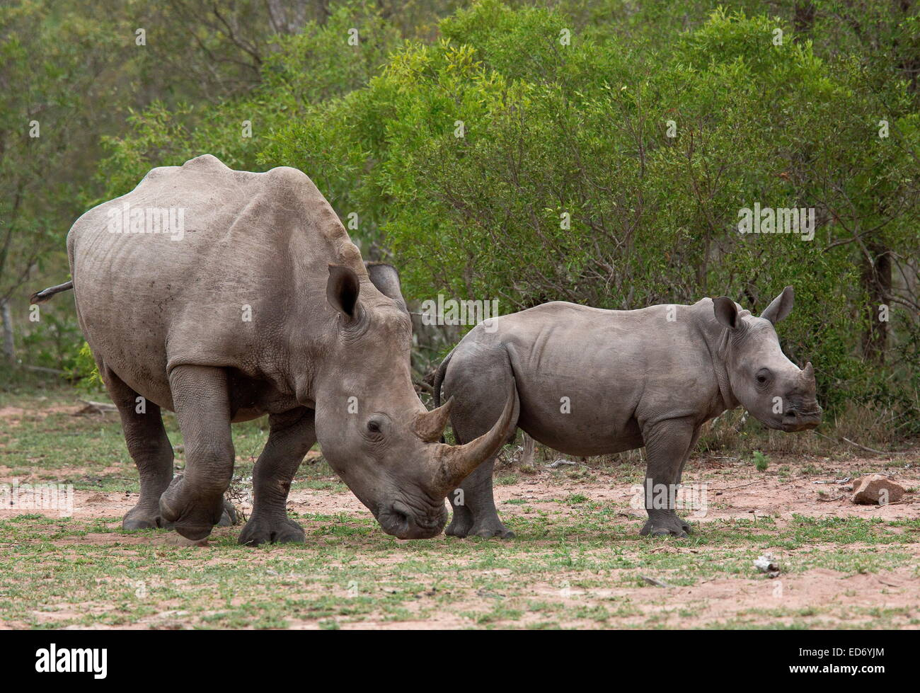 Mother and calf White rhinoceros / Square-lipped rhinoceros, Ceratotherium simum, (southern race) in Kruger National Stock Photo