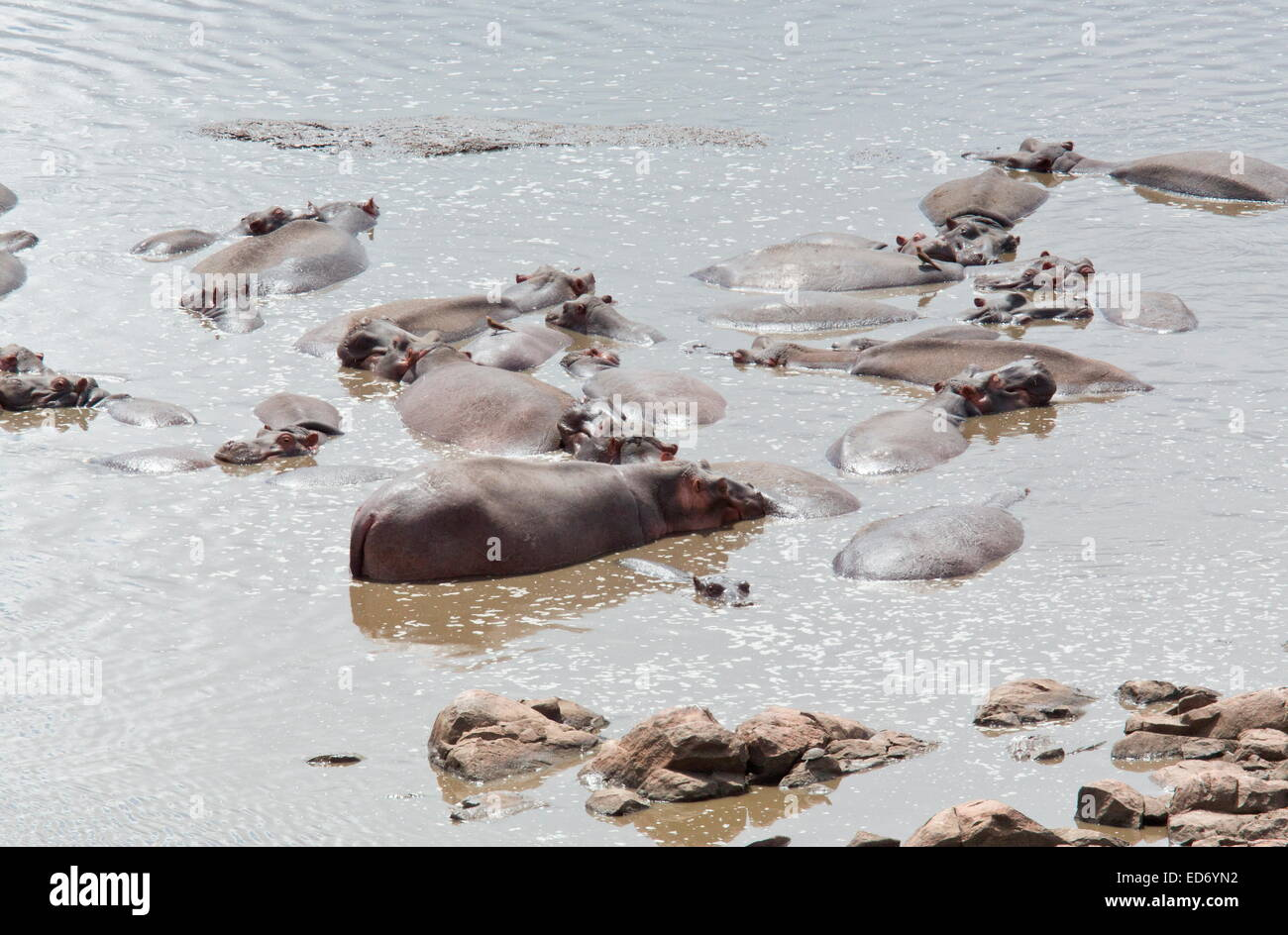 Group of Common hippopotamus, Hippopotamus amphibius, or hippo in a river, Kruger National Park, South Africa Stock Photo