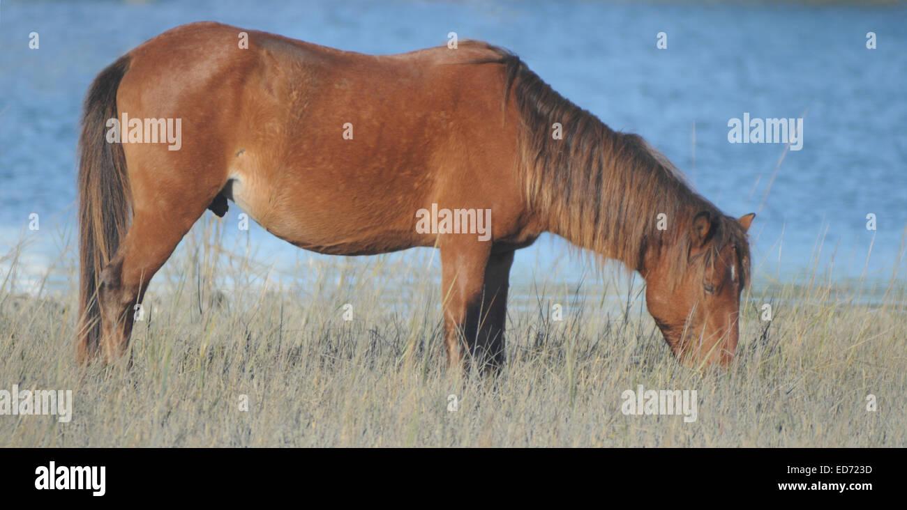 Wild Spanish Mustang Grazing near Beaufort NC - Stock Image