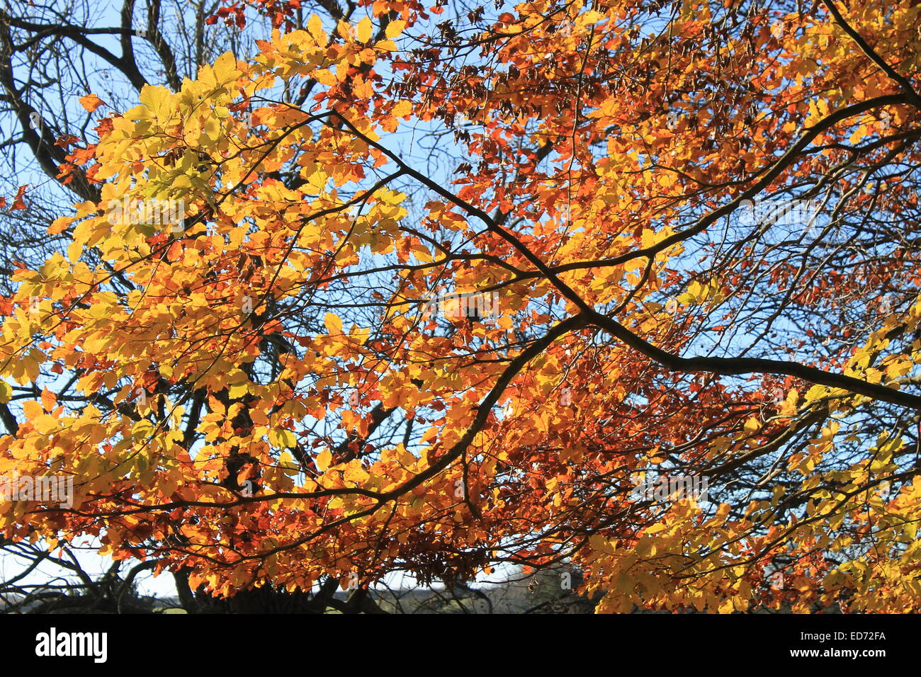 Golden and russet beech tree leaves lit by a low December sun against a clear blue sky, Hampshire, England, UK - Stock Image