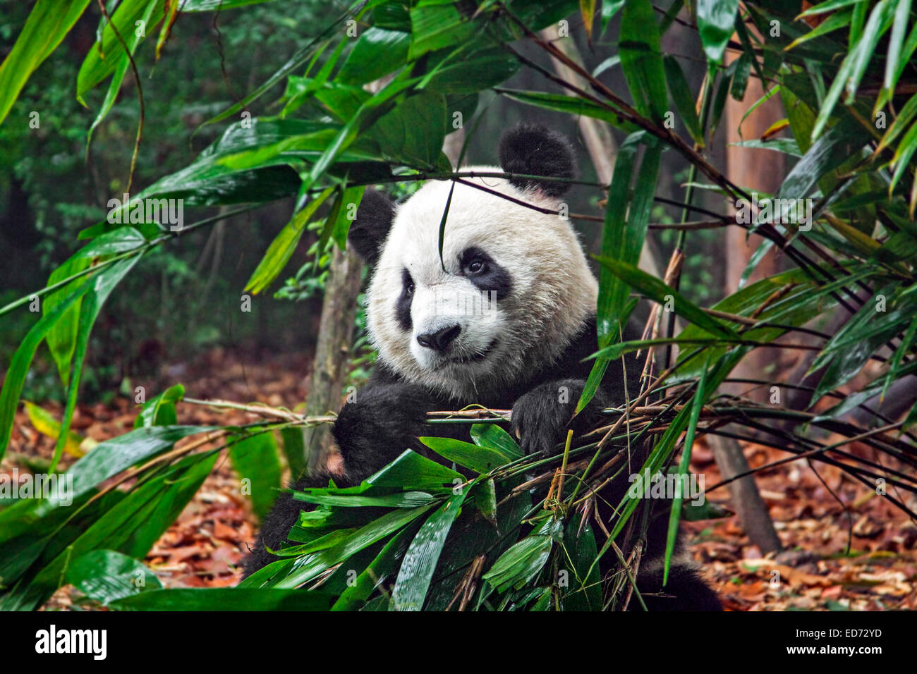 Giant panda (Ailuropoda melanoleuca) eating bamboo in the Chengdu Research Base of Giant Panda Breeding, Sichuan - Stock Image