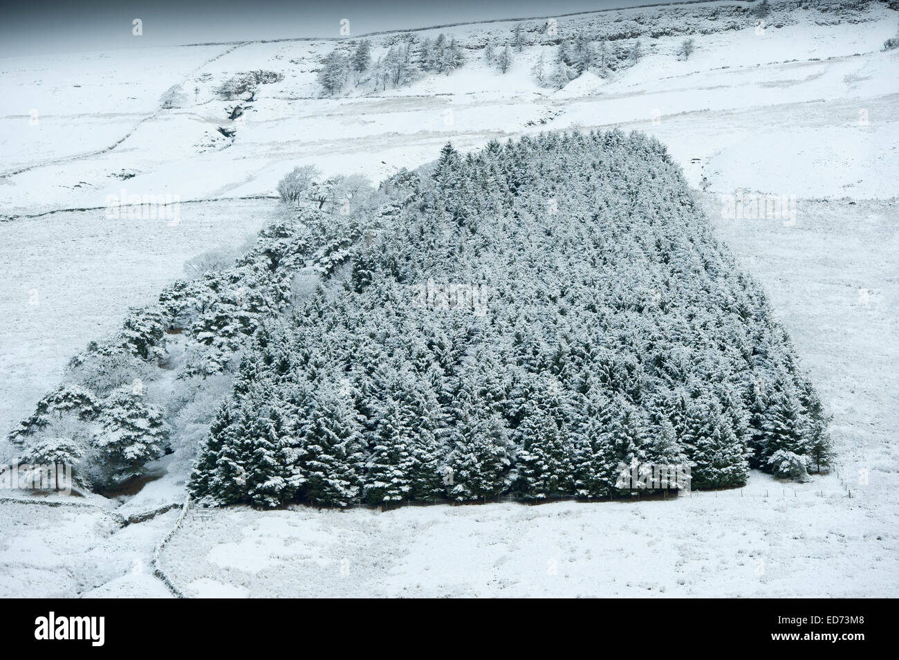 Snow covered conifer wood, Wensleydale, UK - Stock Image