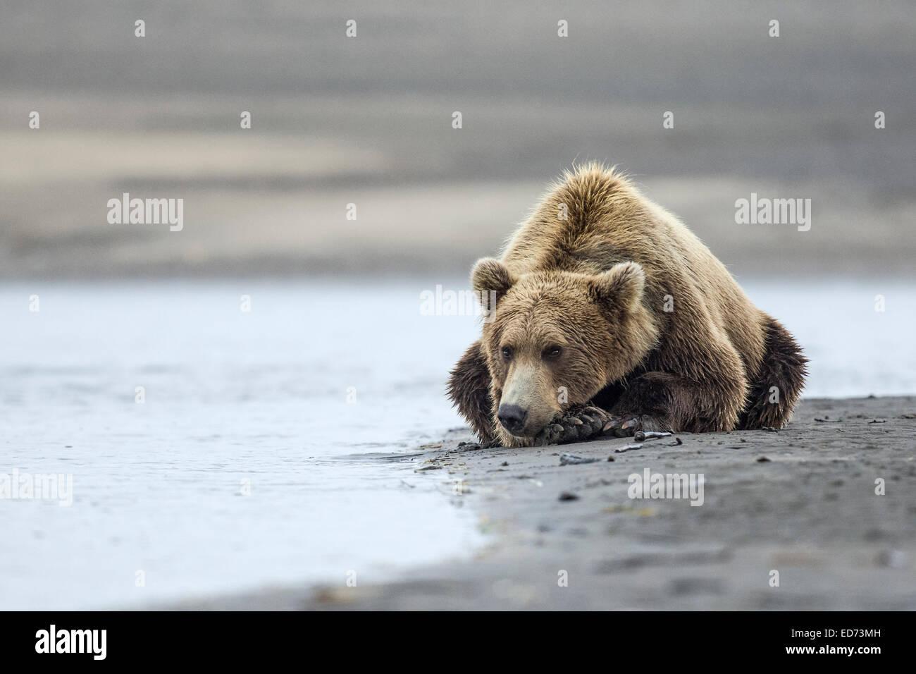 A coastal brown bear waits patiently for salmon beside a tidal pool at Lake Clark NP, Alaska - Stock Image
