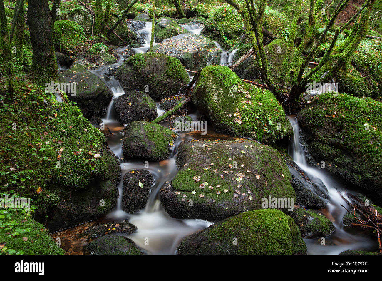 Green forest floor, with trickling water, at late summer. - Stock Image