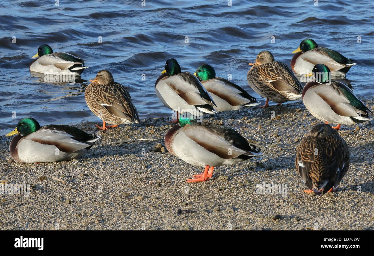 Mallard ducks (Anas platyrhynchos) standing in late afternoon sunlight by a lake. - Stock Image