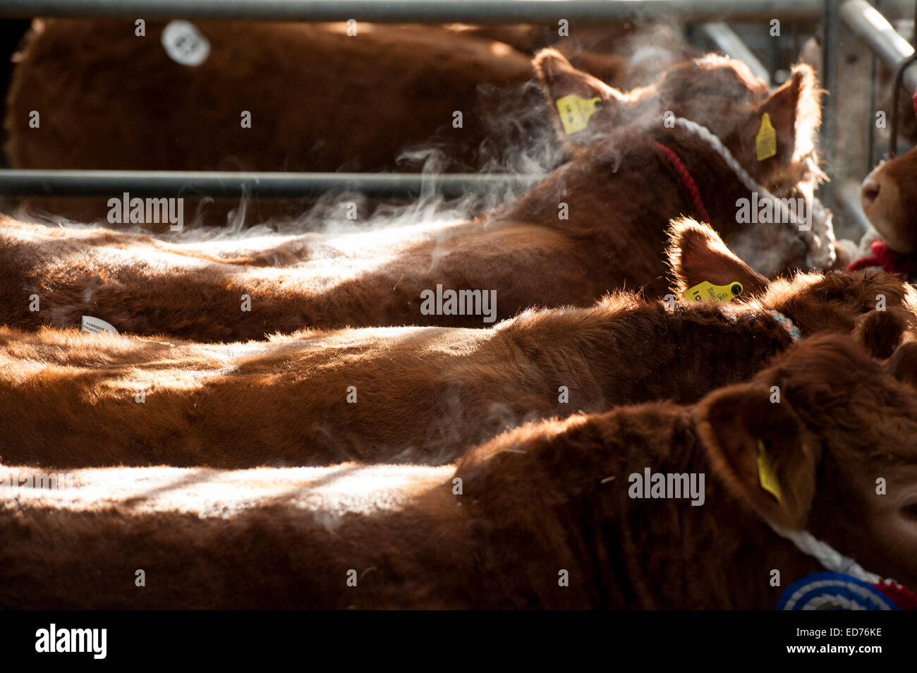 Limousin cattle in pens, steaming. UK - Stock Image