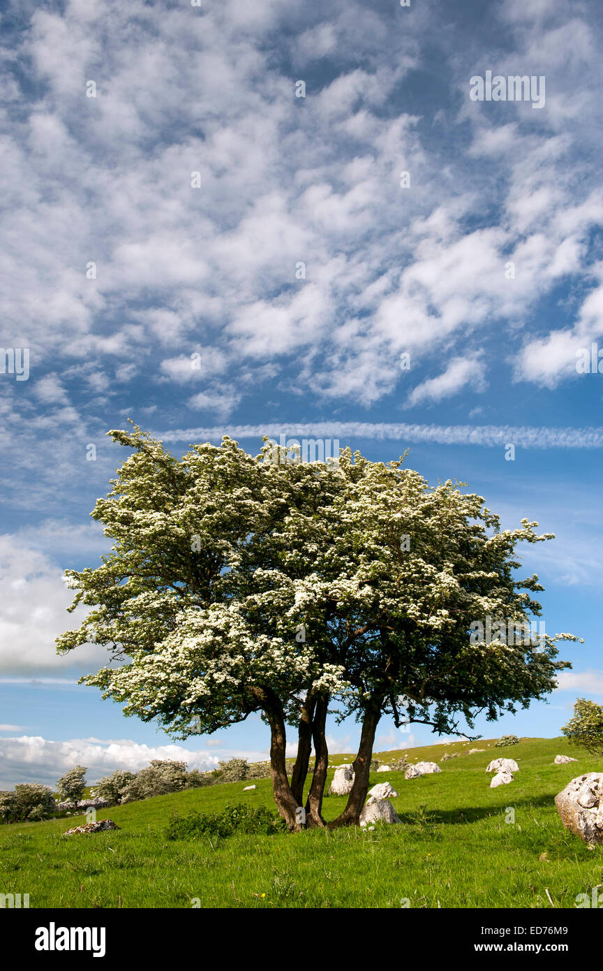 Gnarled Hawthorn tree in blossom, in a upland limestone pasture, with a dramtic sky. Cumbria, UK - Stock Image