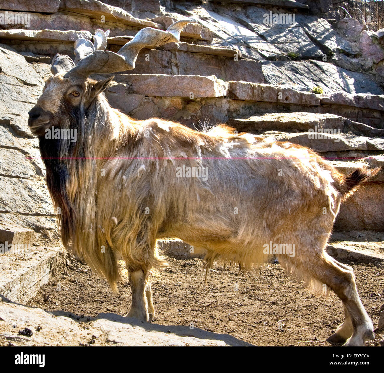 Goat, race Markhor, latin name Capra falconer, lives in Central Asia. Included in 'Red book' of International - Stock Image
