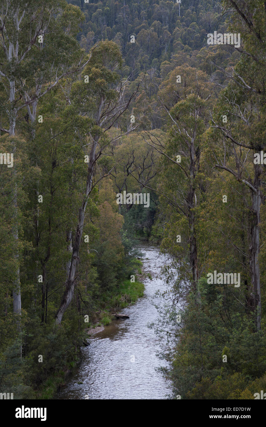 Eucalypt forest right on the water's edge Alpine National Park Victoria - Stock Image
