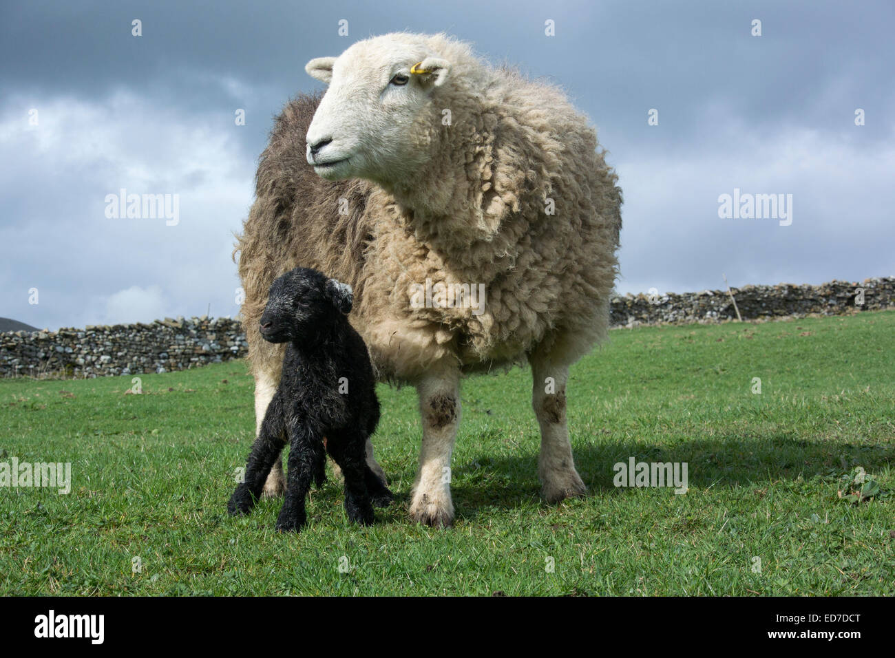 Herdwick ewwe with young lamb, Cumbria, UK. - Stock Image