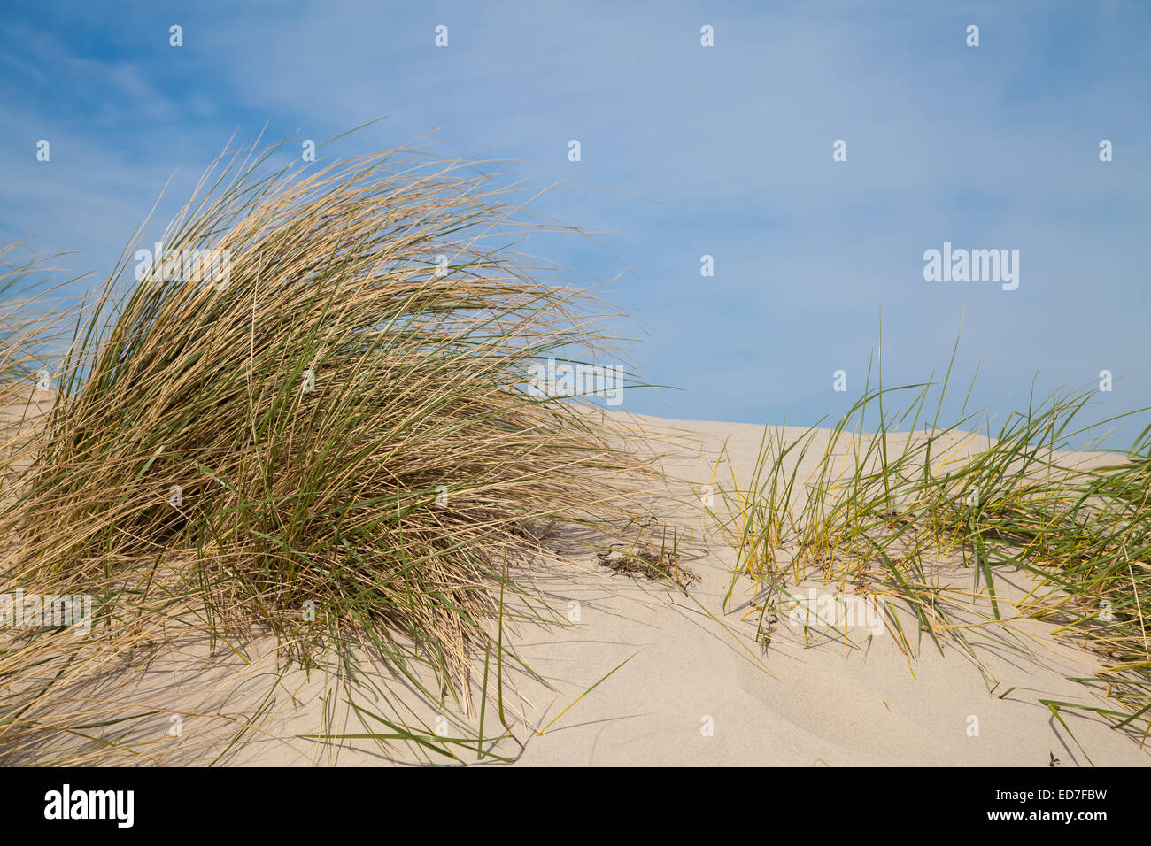 dune with grass at baltic sea - Stock Image