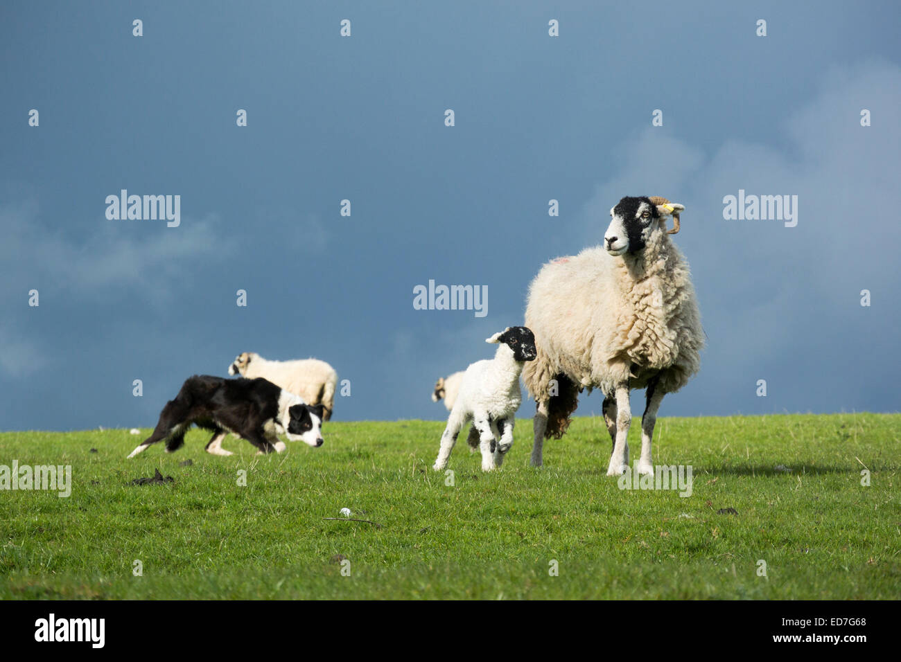 Border collie sheepdog working a ewe and lamb, Cumbria, UK - Stock Image