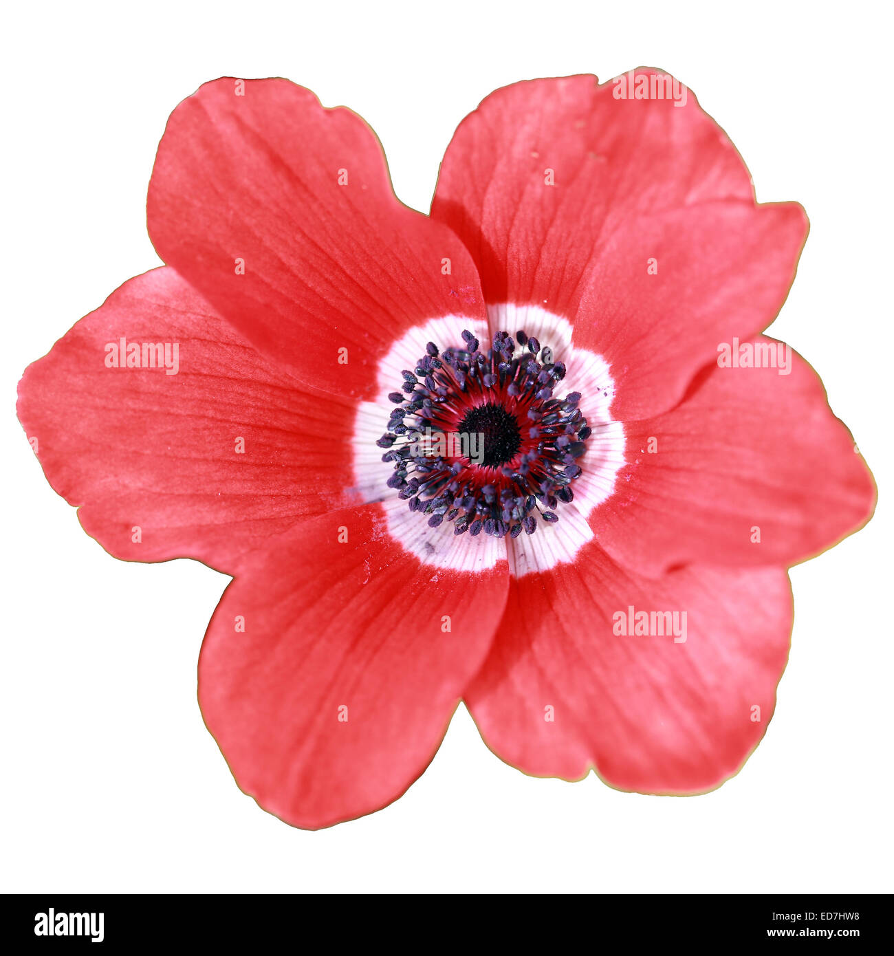 Red anemone flower on white background stock photos red anemone beautiful red flower anemone coronaria on white background stock image mightylinksfo