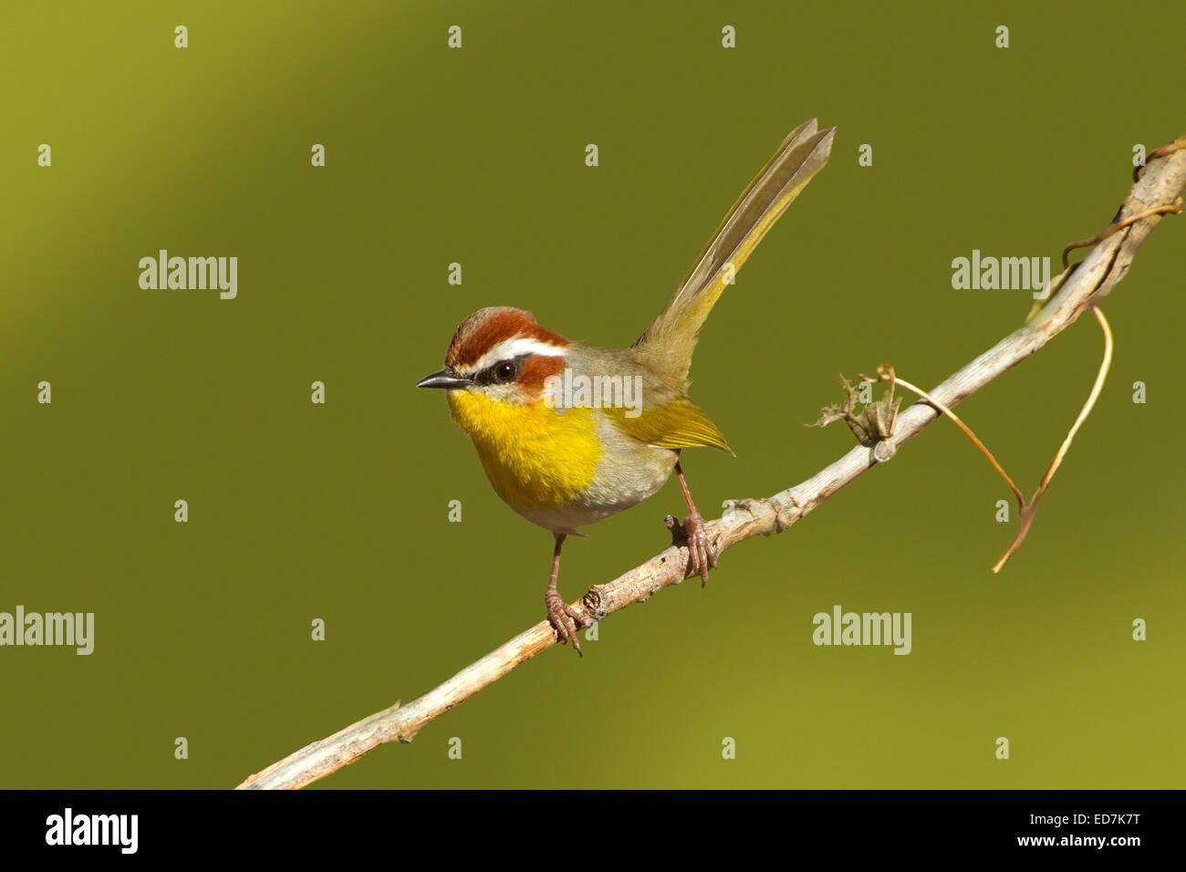Rufous-capped Warbler  Basileuterus rufifrons Santa Rita Mountains, Pima County, Arizona, United States 30 December - Stock Image