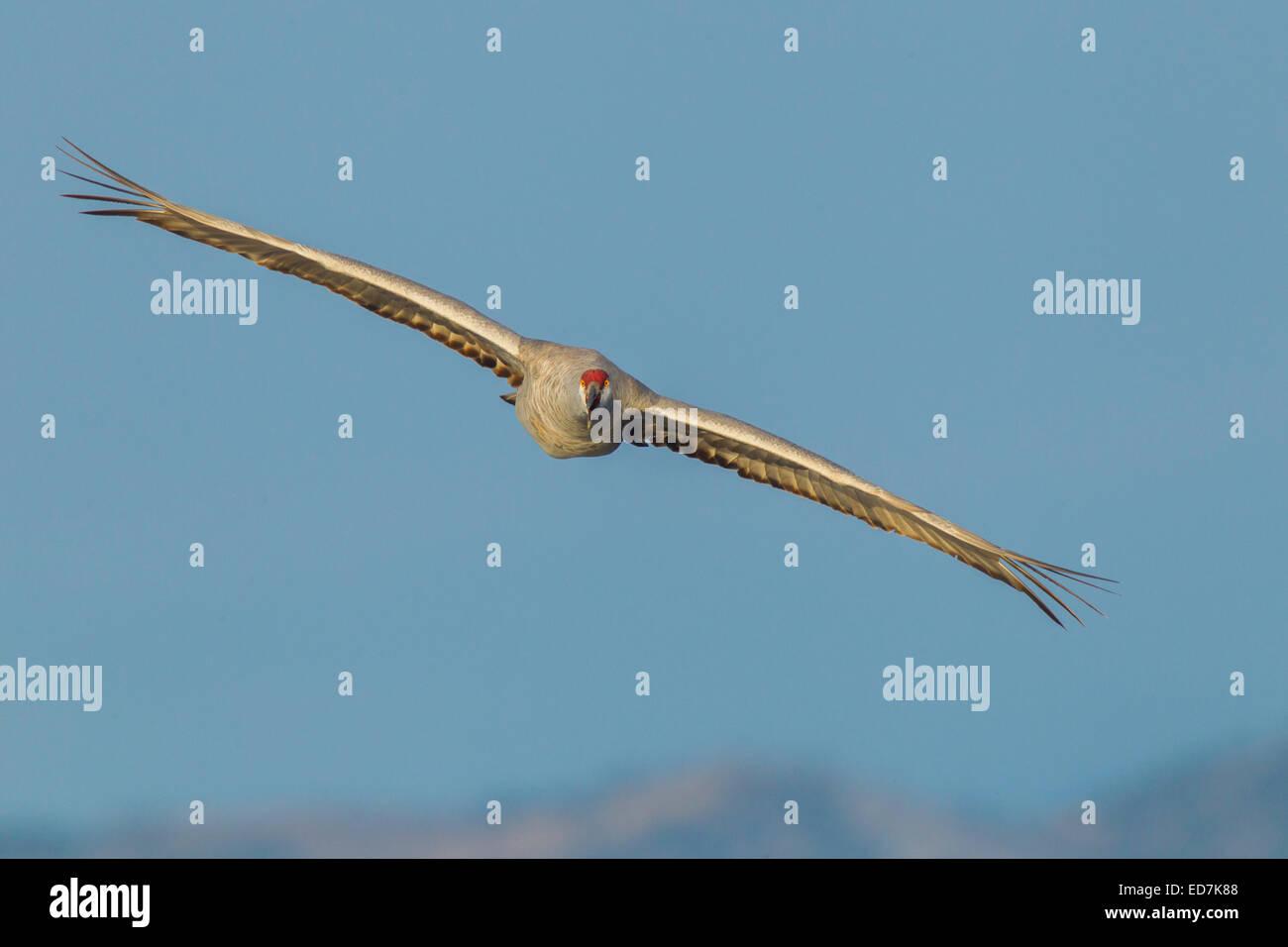 Sandhill Crane  Grus canadensis tabida  Bosque del Apache National Wildlife Refuge, New Mexico, United States 16 - Stock Image