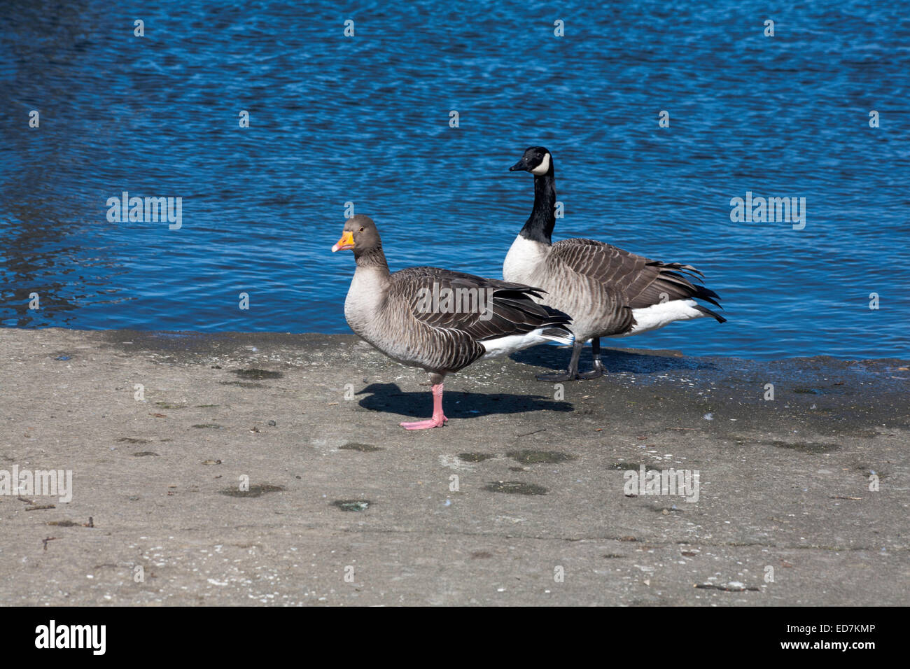 Canada Goose and Greylag Goose walking by the shore line of Windermere at Bowness on Windermere The Lake District - Stock Image