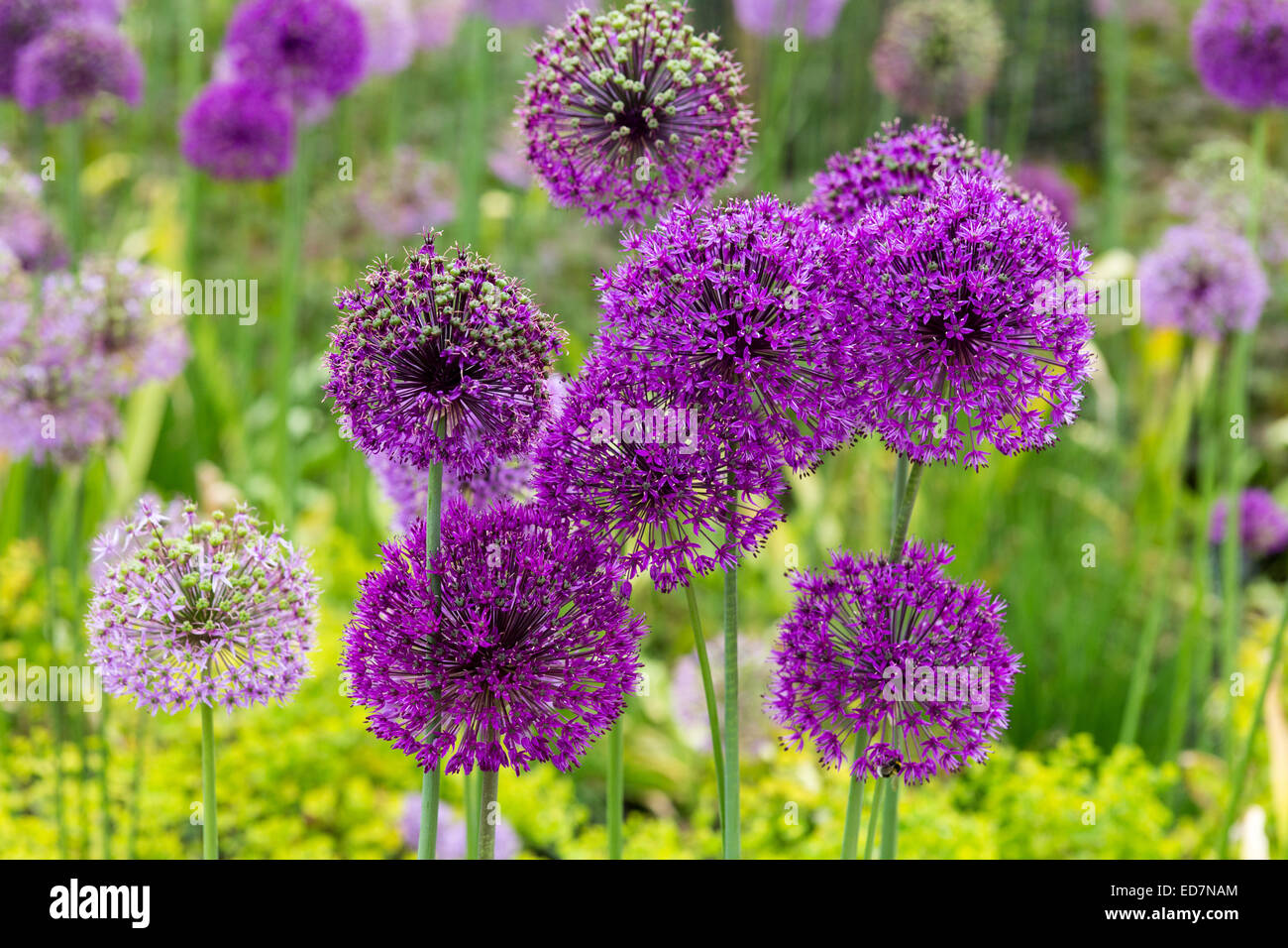 Alliums making a colourful display in early Summer, 2014 - Stock Image