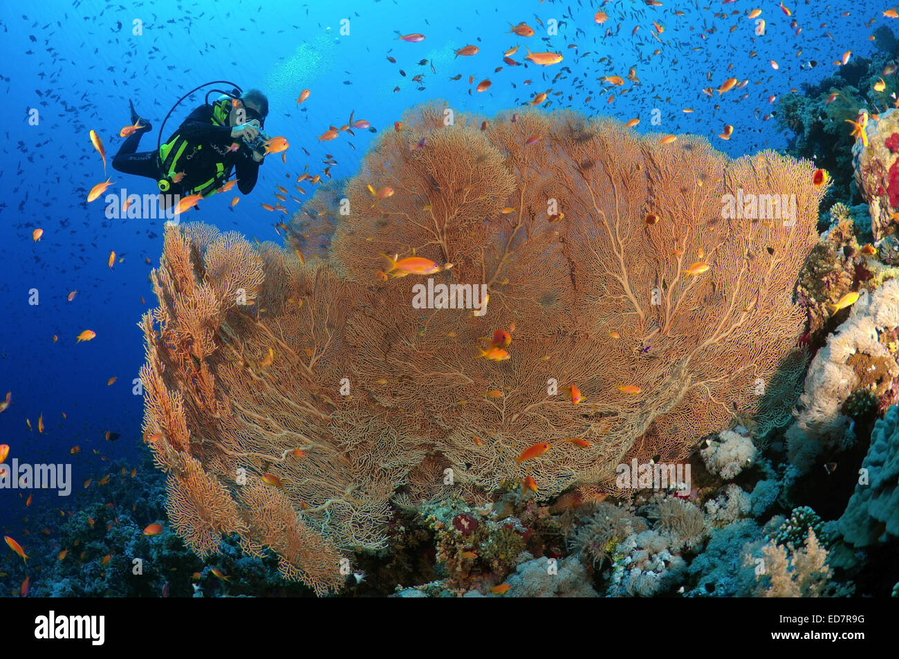 Diver photographing coral purple gorgonian seafan (Gorgonia flabellum) Red sea, Egypt, Africa Stock Photo