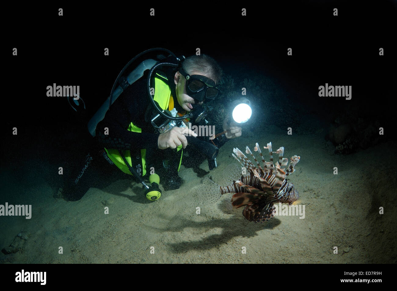 Diver looks at Red lionfish (Pterois volitans) night diving in Red Sea, Egypt, Africa - Stock Image