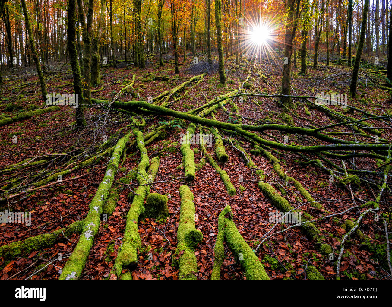 Autumnal woodland at first light. - Stock Image