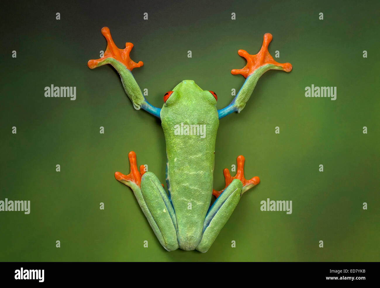 Red-eyed Tree Frog portrayed flattened against a wall of green - Stock Image