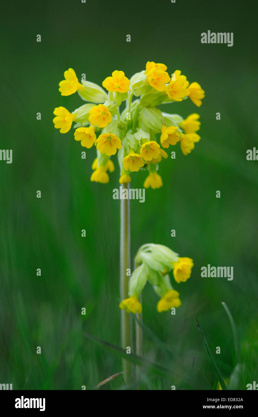 Cowslip in flower. Somerset, UK May 2012 Stock Photo