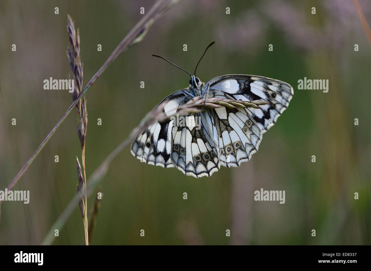 Marbled white butterfly at rest UK - Stock Image