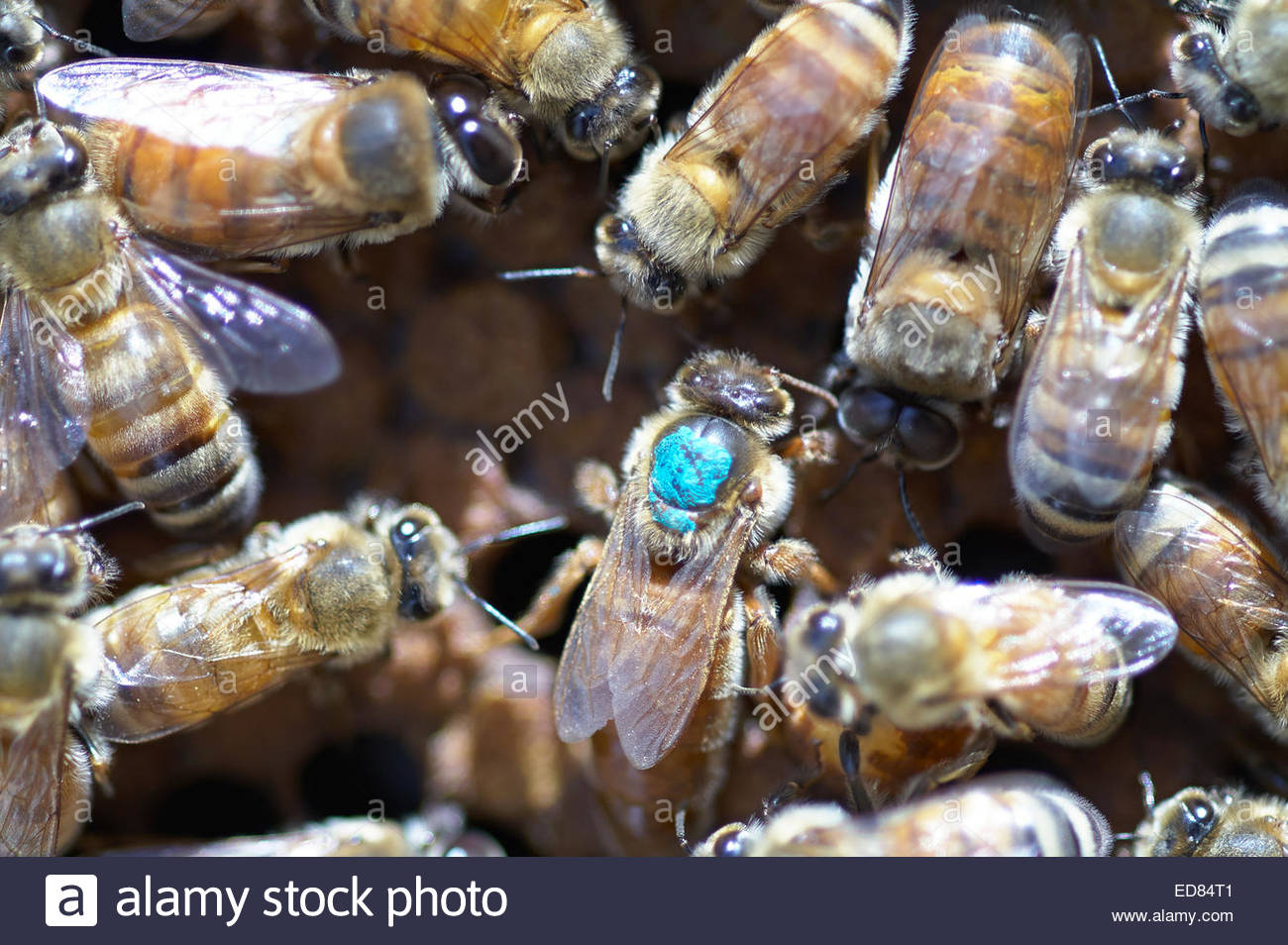 A queen bee - marked with a dot of blue paint on her back, to aid in location - surrounded by her worker honeybees; - Stock Image