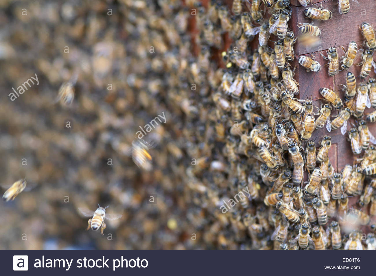 Honeybees on the outside of the beehive, clustered together - some in flight - they often handle hot weather by - Stock Image