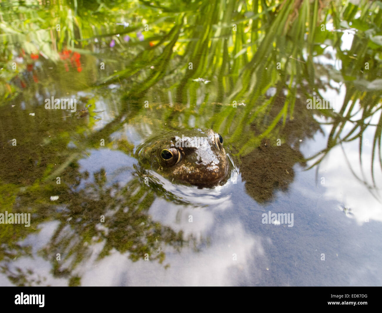 A frog almost completely submereged in a garden pond. - Stock Image