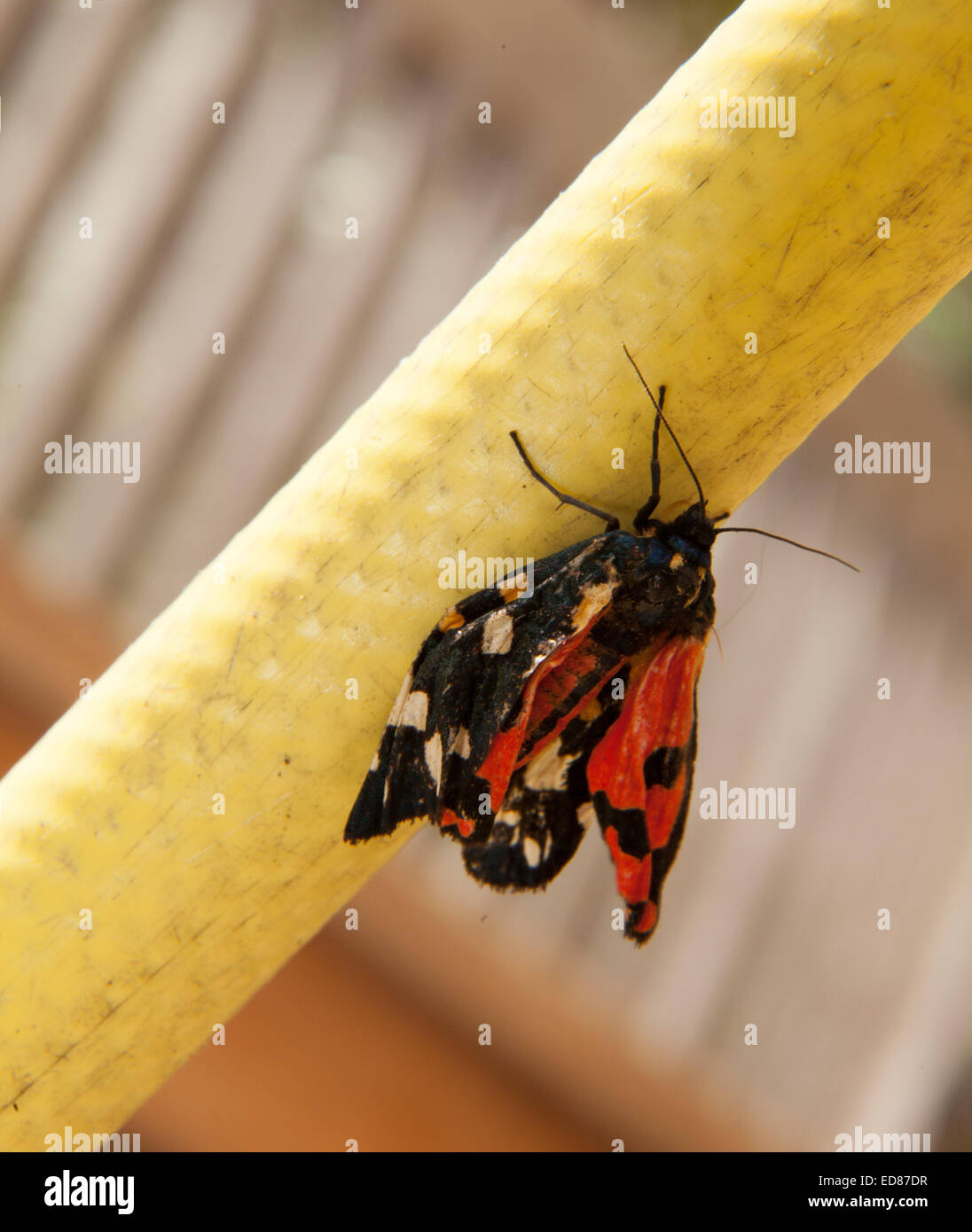 A scarlet tiger moth dries his wings whilstclinging to a garden hosepipe - Stock Image