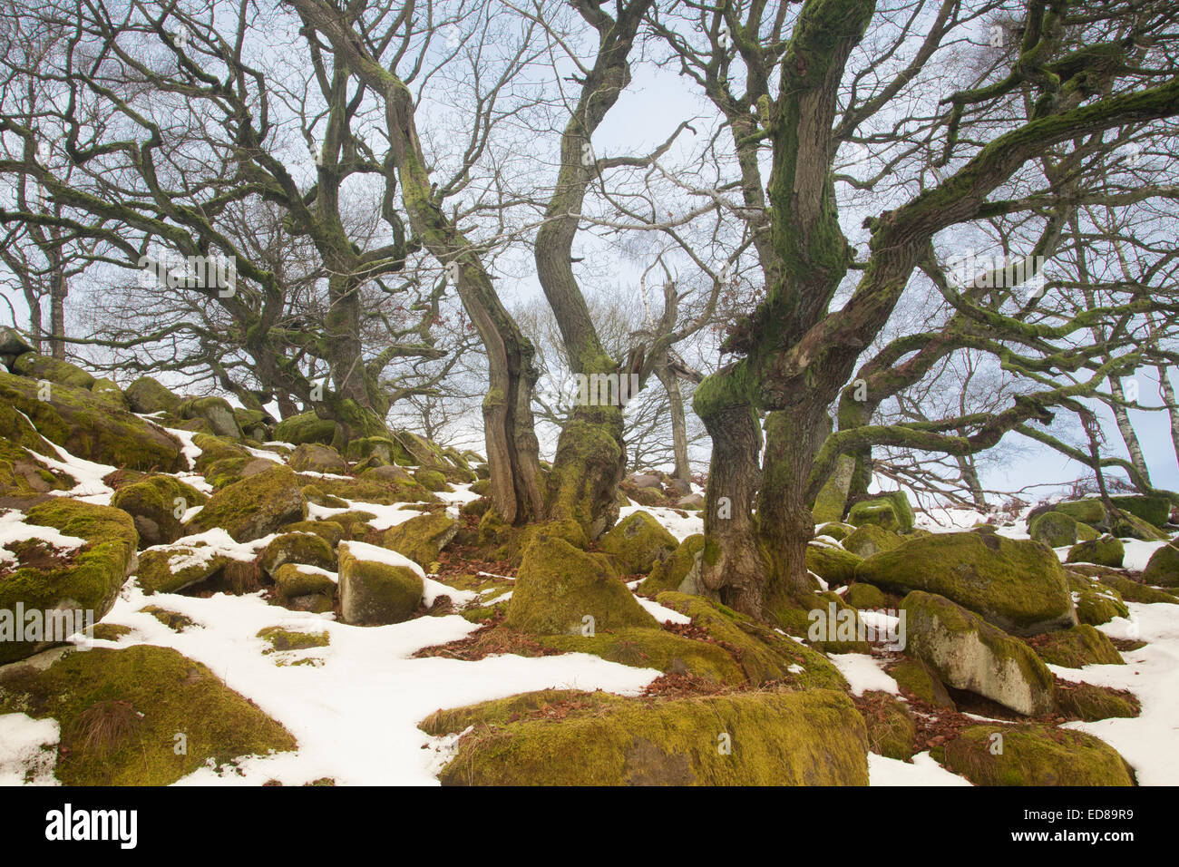 Ancient woodland in winter, Padley Gorge - Stock Image
