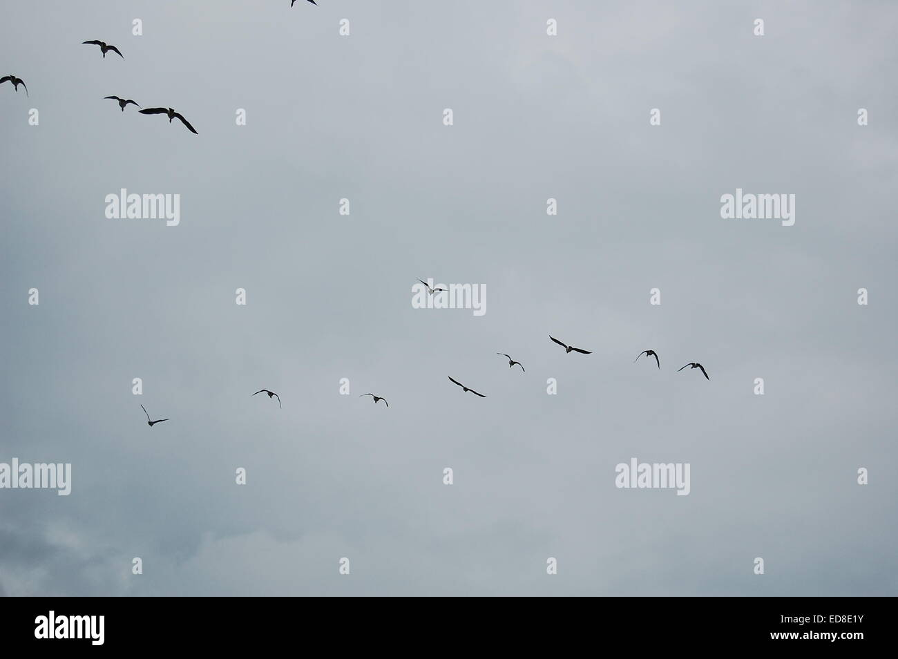 Birds of passage (Nature Picture of the Month & Finalist in Swedish Pressphotographers' 'The Amateur - Stock Image