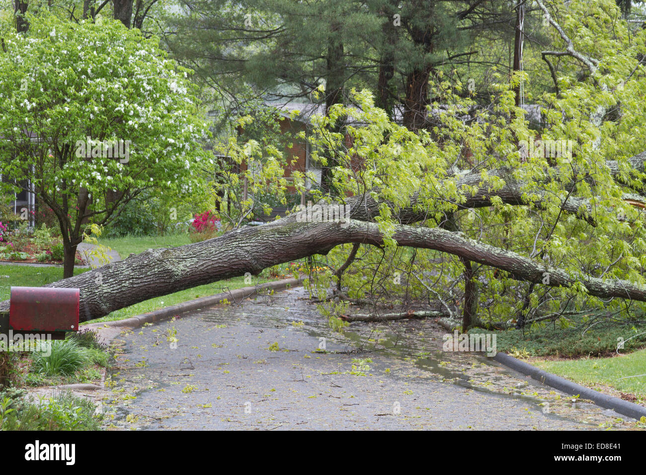 A neighborhood road is blocked by a large oak tree that has fallen and crumbled across the road after a spring storm - Stock Image