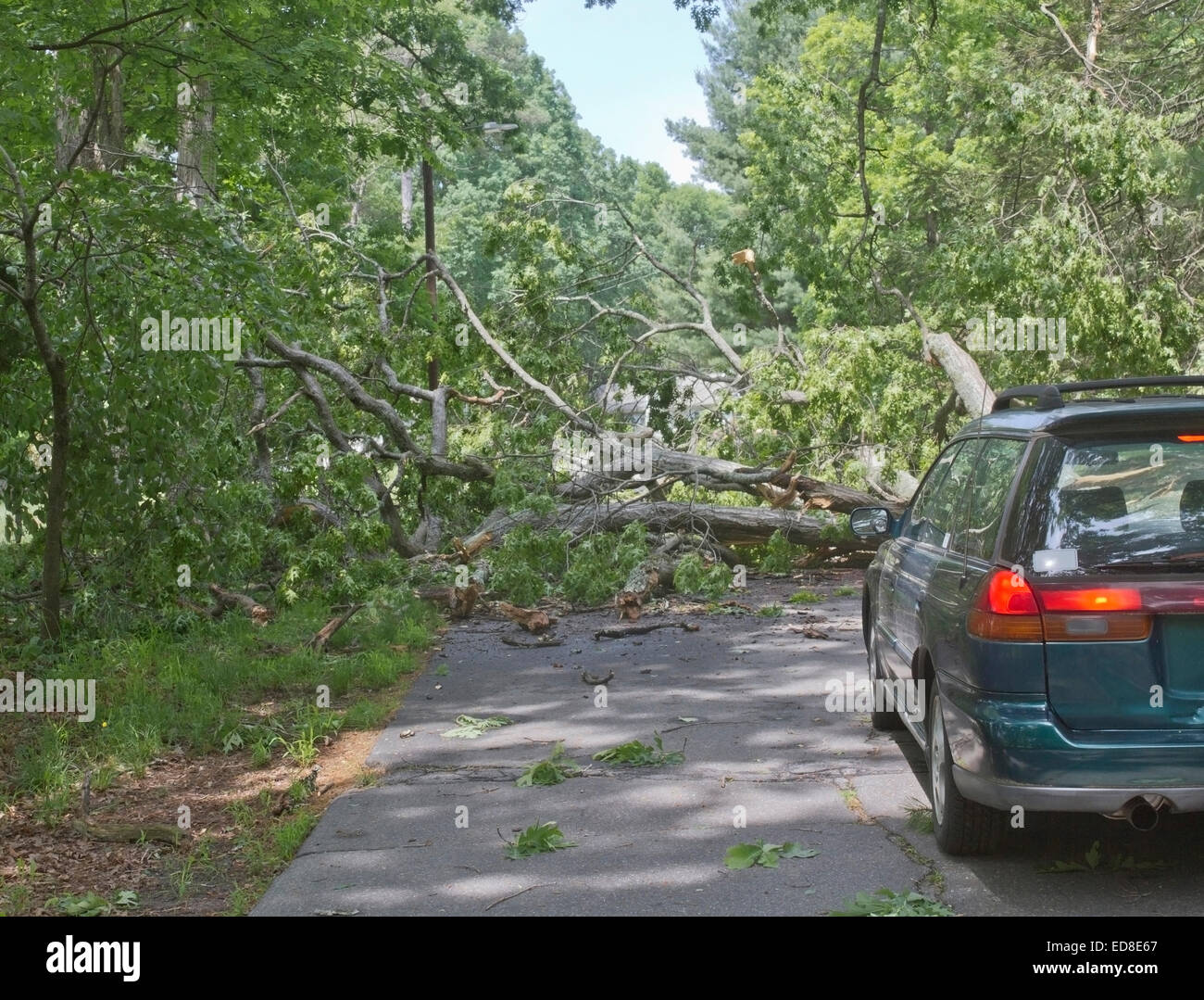 Car driving along a road is blocked by a large oak tree that has fallen and crumbled across the road blocking the Stock Photo