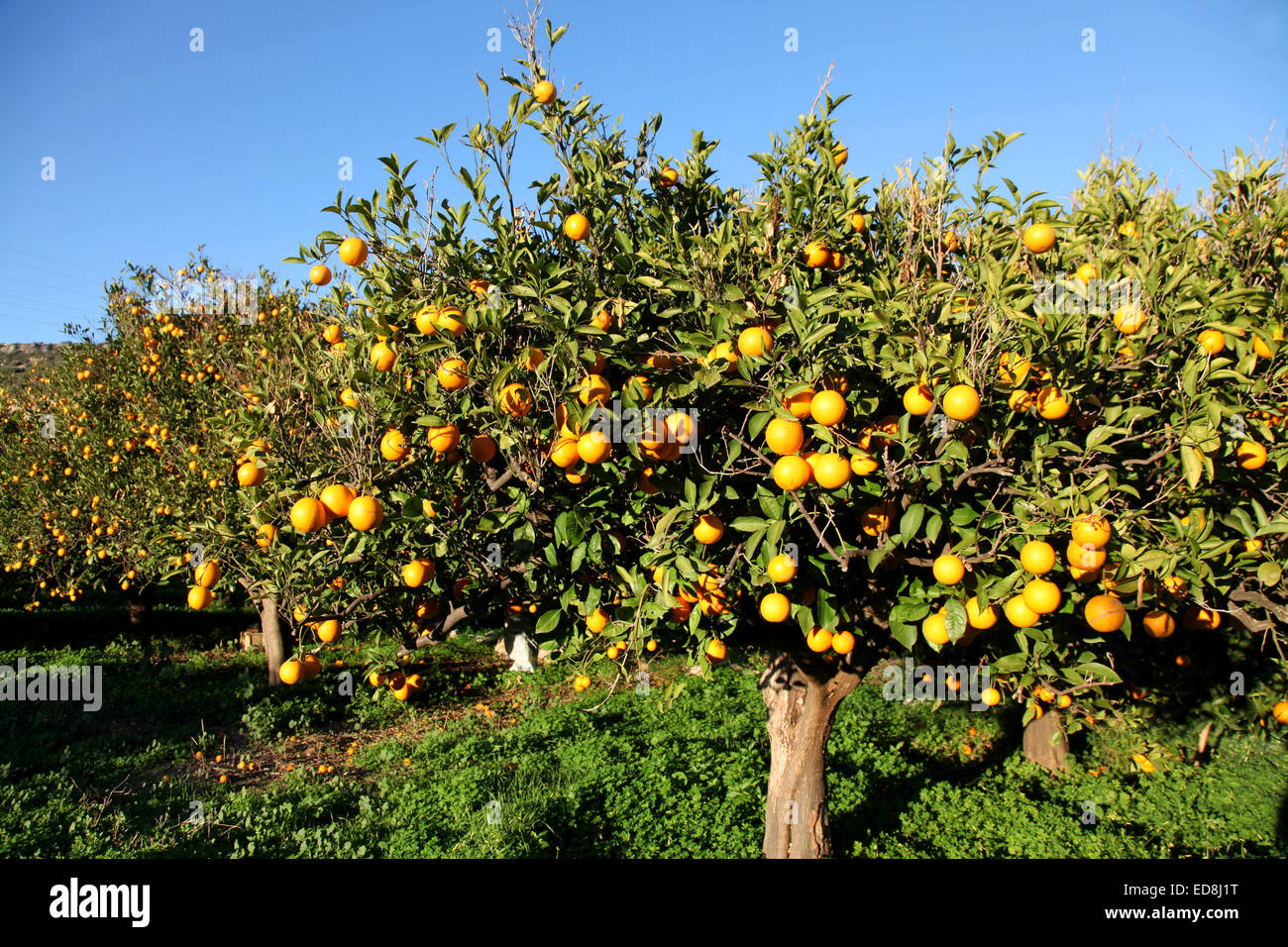 A forest of Oranges and all ready to harvest for Christmas. A typical Greek scene in winter - Stock Image