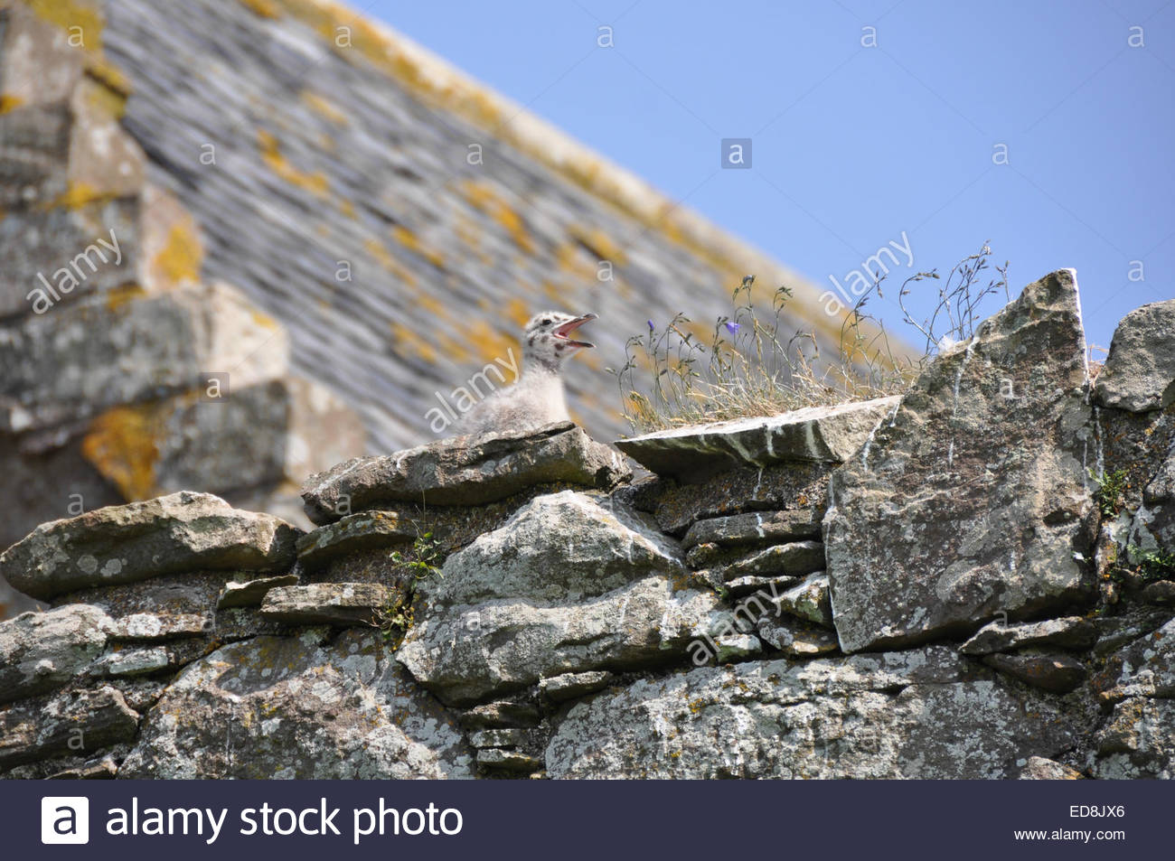 young gull chick high on the walls of Dunnottar Castle, Stonehaven, Aberdeenshire, Scotland - Stock Image
