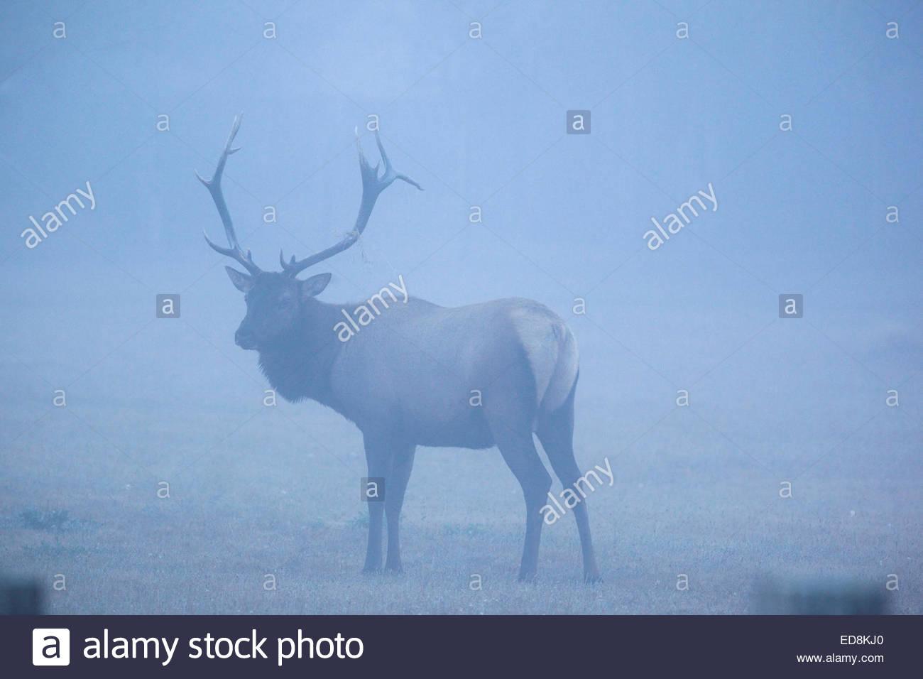 Male Roosevelt Elk in Fog at Boyes Prairie, Prairie Creek Redwoods State Park, California - Stock Image