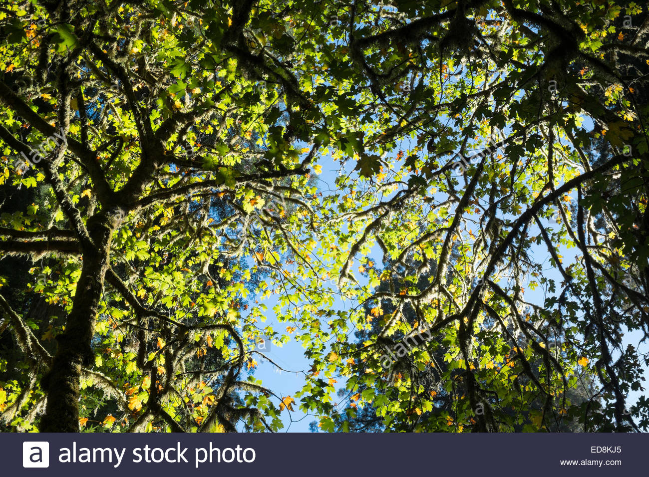 Big Leaf Maples in Fall, Jedediah Smith Redwoods State Park, California - Stock Image