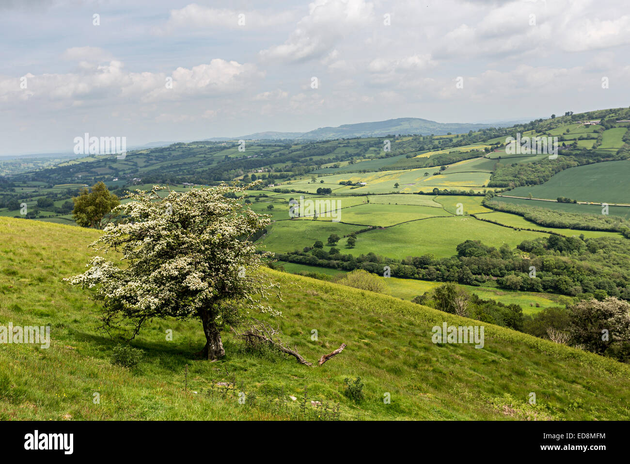 Hawthorn tree in flower with countryside fields, Bryn Arw near Abergavenny, Wales, UK - Stock Image